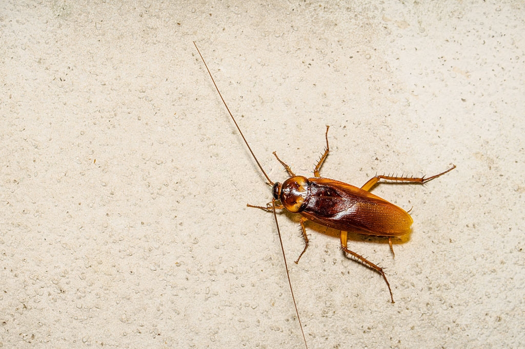 Cockroach Control, Pest Control in Kensal Green, NW10. Call Now 020 8166 9746