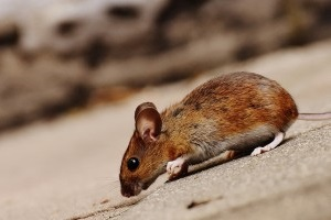 Mouse extermination, Pest Control in Kensal Green, NW10. Call Now 020 8166 9746