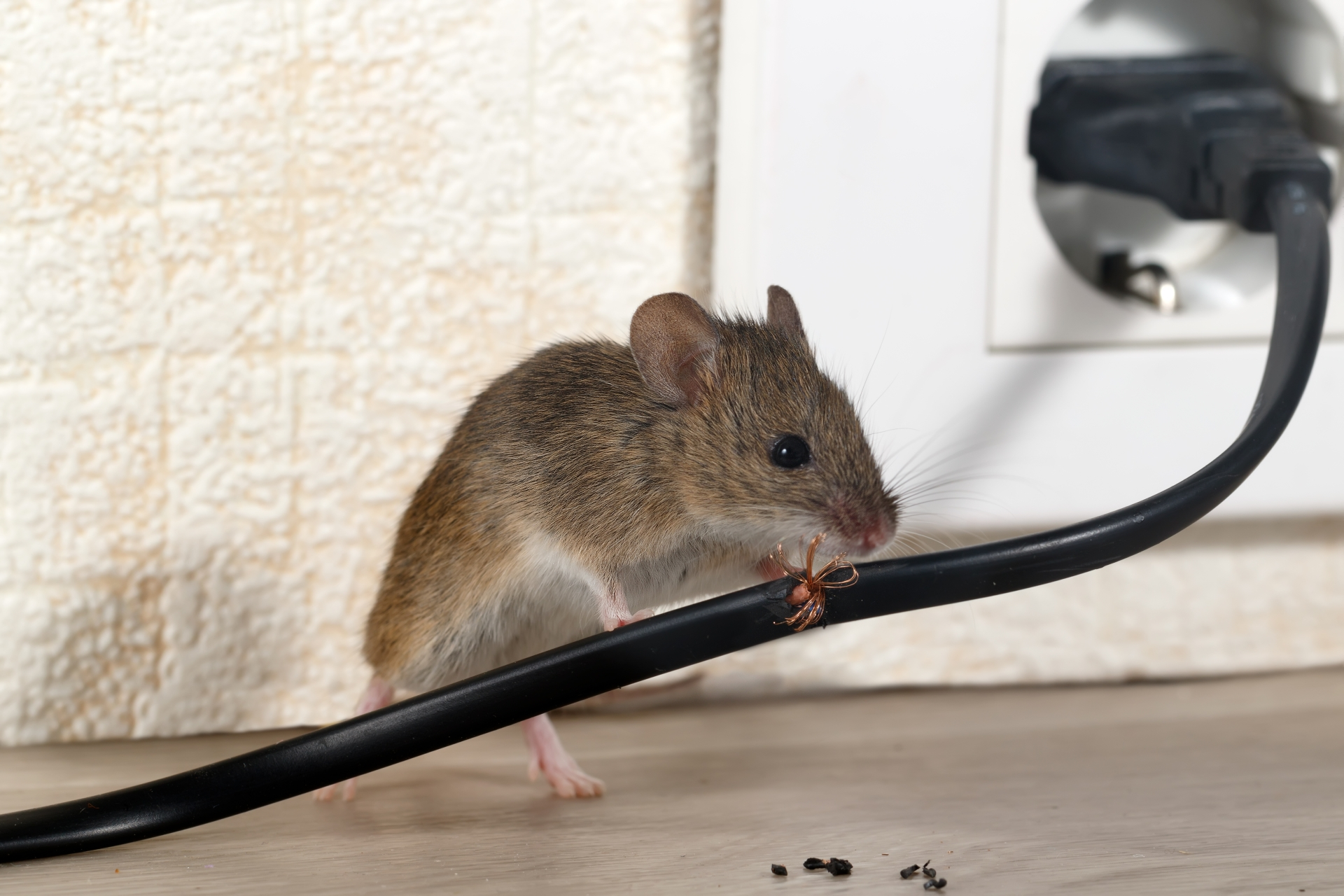 Mice Infestation, Pest Control in Kensal Green, NW10. Call Now 020 8166 9746