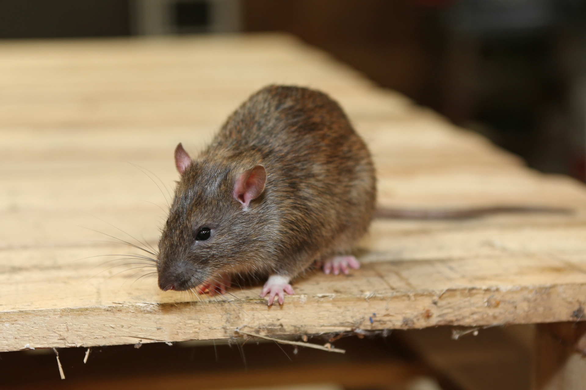 Rat Infestation, Pest Control in Kensal Green, NW10. Call Now 020 8166 9746