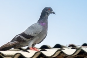Pigeon Control, Pest Control in Kensal Green, NW10. Call Now 020 8166 9746